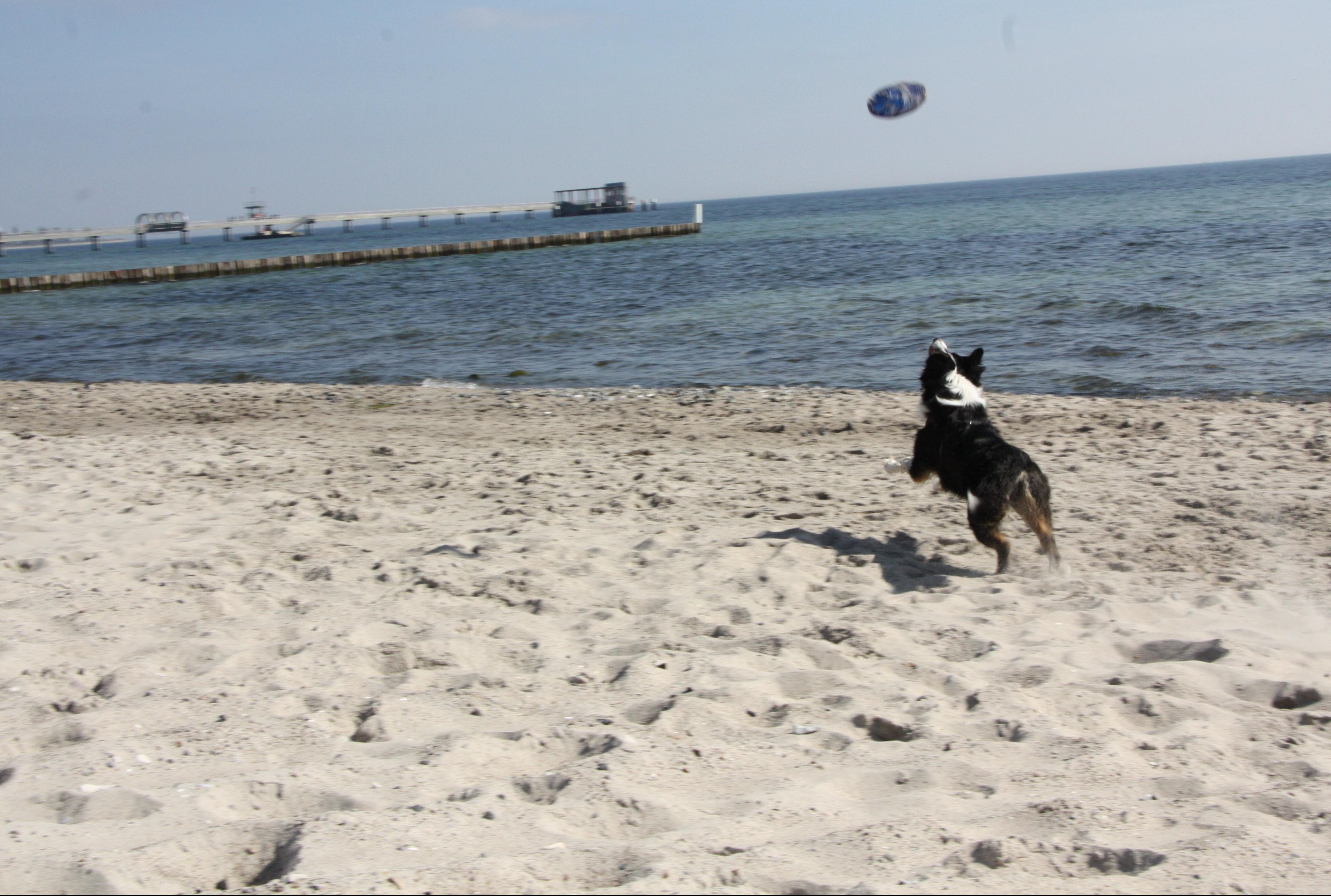 Hundesport_Hundeblog_australian_Shepherd